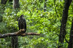 Young Bald Eagle on Tree Limb - stock photo