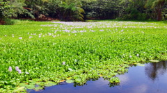 Lilly pond in Hawaii - stock footage