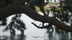 Stock Video Footage of Curved Pine in Wild Water