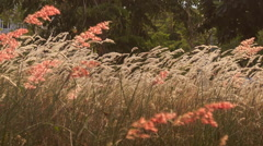 wind shakes blossoming grass against tropical villa at dawn - stock footage