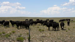 West Texas - Cows in Field - 10L Stock Footage