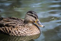 Mallard duck isolated swimming - stock photo