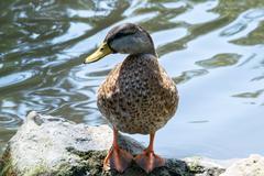 Mallard duck isolated - stock photo