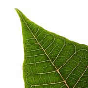 Green leaf of poinsettia christmas tree isolated Stock Photos