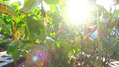 Vegetable garden 19 - freshly watered plants with sun through the leaves Stock Footage