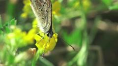 Butterfly Amphiesmenoptera Panorpida macro 4k Stock Footage