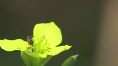 Stock Video Footage of Pistil, leaves, stamen, stigma in yellow flower macro, field, Insect 4k