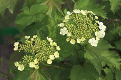 Stock Photo of Inflorescence on a bush viburnum red