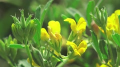 Pistil, leaves, stamen, stigma in yellow flower macro, field, Insect 4k Stock Footage