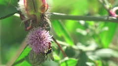 Wasp crawling on a thistle flower on green background in forest, 4k Stock Footage