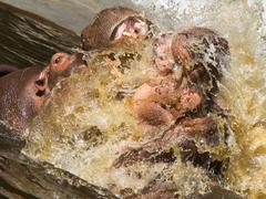 Two fighting hippos (Hippopotamus amphibius) Stock Photos