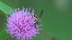 Fly simulator wasp collects nectar on a flower thistle, macro, insect, 4k Stock Footage