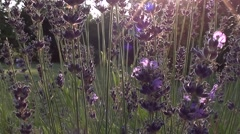 Bumblebee on lavender - stock footage