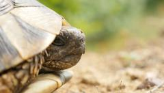 Shallow DOF head of Testudo hermanni turtle hiding in armour 4K 2160p UltraHD - stock footage