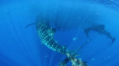 Two Whale Sharks Eating, Front To (Rhincodon Typus) Stock Footage