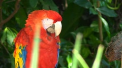 Macaw parrot sitting and sleep on branch in the jungle close up Stock Footage