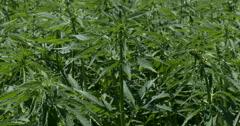 Hemp crop blowing in the wind - stock footage