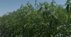 Hemp tall crop pedestal down Stock Footage