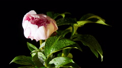 peony flowering - stock footage