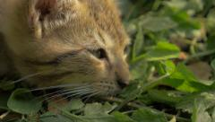 Small cat resting in the grass 4K 2160P UltraHD footage - Cat  relaxing outdd Stock Footage