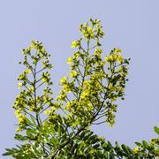 Cassod tree, Thai copper pod (Senna siamea (Lam.) Irwin & Barneby), Leguminos - stock photo