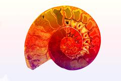 Fossil of Ancient Mollusk, Isolate background of colorful fossil shell. - stock photo