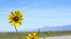 4K beautiful wild flower with mountains in background Stock Footage