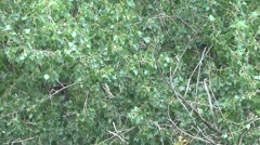 Trees Toss Branches In The Breeze - stock footage