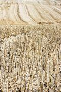 Straw stubble after harvesting on farm field Stock Photos
