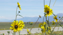 4K wild sunflower blowing in wind mountains in background - stock footage