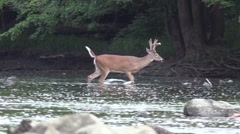 double brow tine whitetail buck in velvet crossing river wildlife nature animal - stock footage
