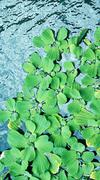 Pistia, water lettuce, water plant background - stock photo