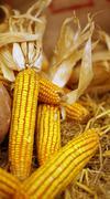 Autumn holiday pumpkin and corn, thanks giving Stock Photos
