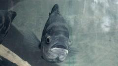 Oscar fish swimming in aquarium Stock Footage