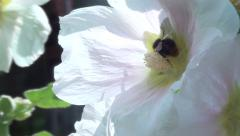 Hollyhock with bumblebee Stock Footage