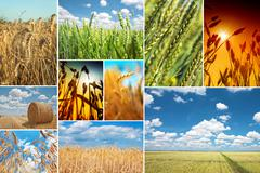 Stock Photo of Wheat field collage