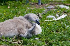 Funny young swan is scratching his beak - stock photo