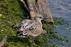The lesser black-backed gull is staying near the water - stock photo