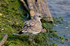 The close-up of the lesser black-backed gull - stock photo