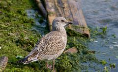 The close-up of the beautiful lesser black-backed gull staying on the shore - stock photo