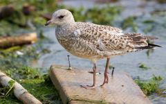 The lesser black-backed gull is staying on the wooden board - stock photo