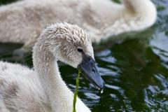 Beautiful young swan is eating the algae Stock Photos