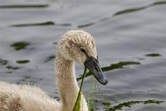 The swan is eating the algae Stock Photos