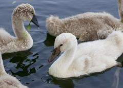 Young mute swans are swimming - stock photo