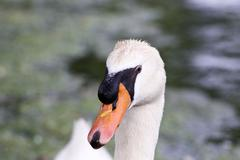 Funny thoughtful swan close-up - stock photo