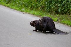 The Canadian beaver - stock photo