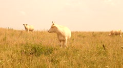 Stock Video Footage of White cow grazing in the meadow. Hot sunny day on meadow with dry grass stalks.