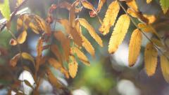 Pan across yellow ashberry leaves with lens flare on blur sunlit background. Stock Footage