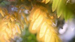 Magic autumn scene with sun shining through ashberry leaves. Stock Footage