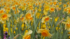 Narcissus pseudonarcissus plants   slow waving by the wind 4K 2160p UltraHD f Stock Footage